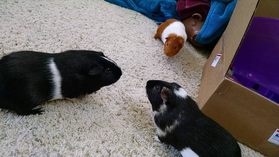 Guinea Pig Party!