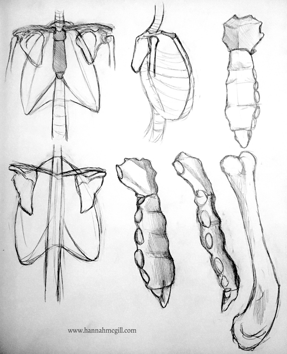 Sternal Anatomy Definition