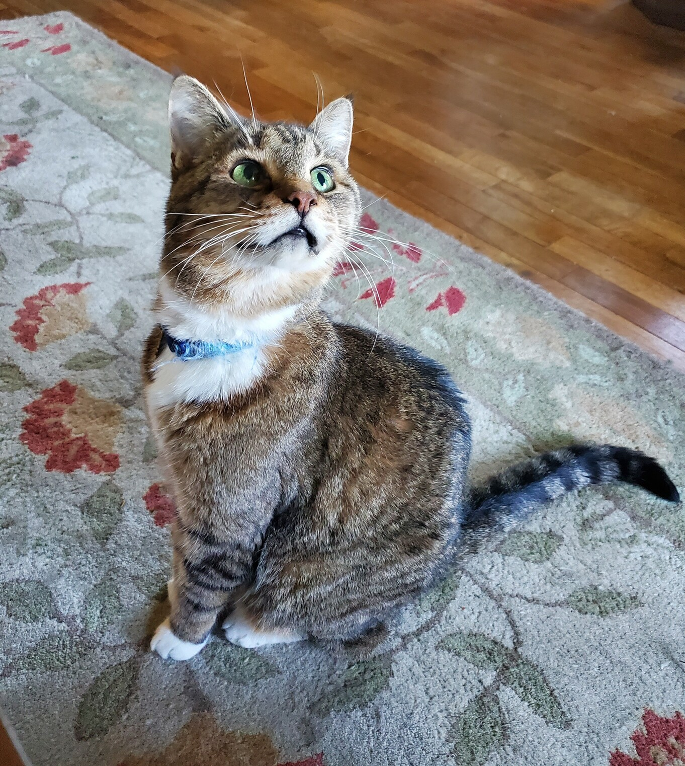 A tabby cat looking up